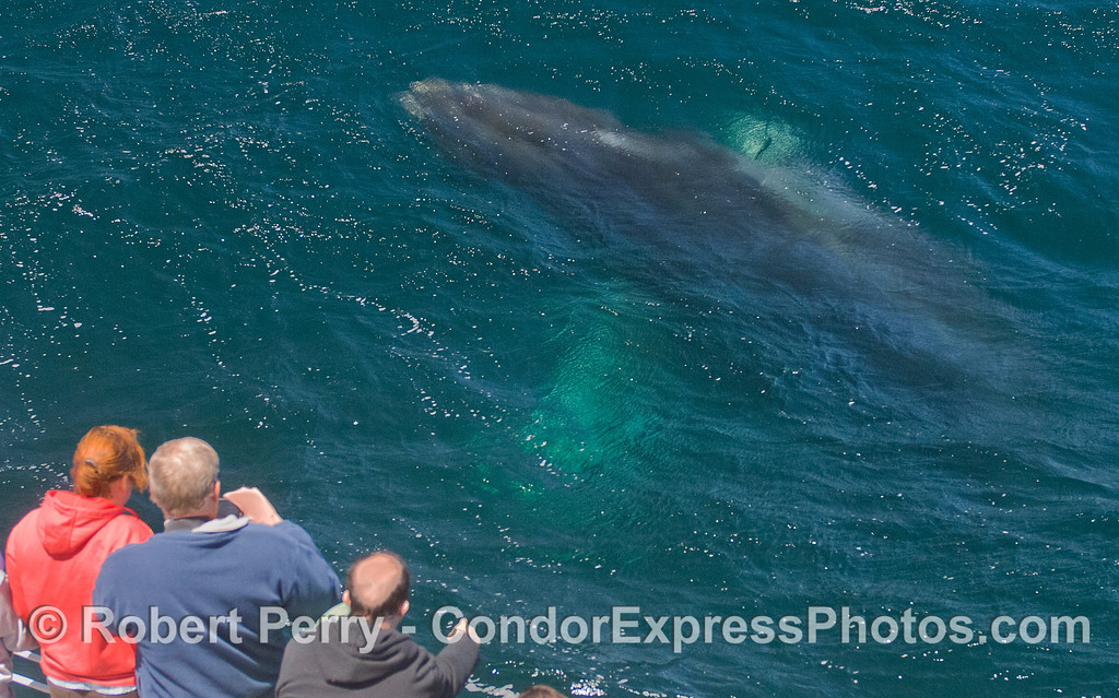 A Humpback Whale (<em>Megaptera novaeangliae</em>) rises up from the deep.