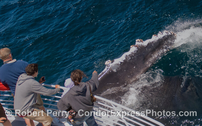 The enormous pectoral fin of this Humpback Whale (<em>Megaptera novaeangliae</em>) is shown as it rolls around next to the Condor Express.