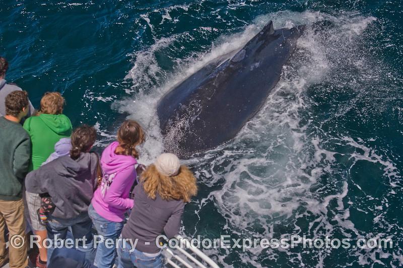 Humpback Whale (<em>Megaptera novaeangliae</em>) diving under the boat.