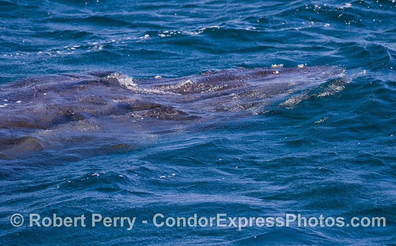 Humpback Whale (<em>Megaptera novaeangliae</em>) under water.