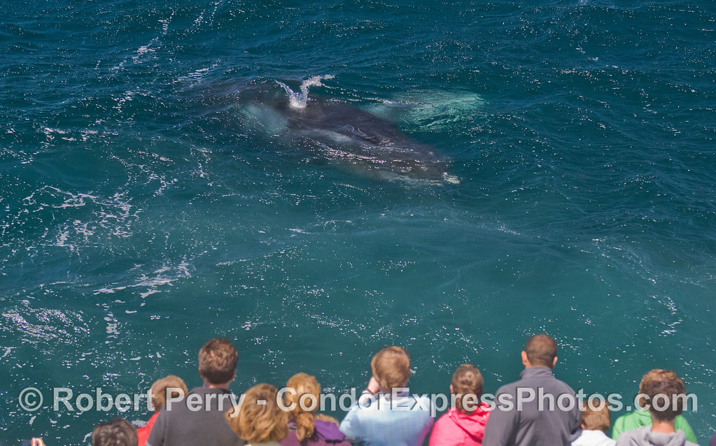 Who is looking at who?  Humpback Whale (<em>Megaptera novaeangliae</em>) and Condor Express.