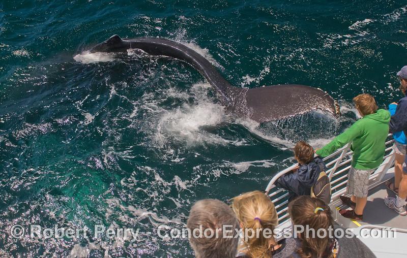 Note the flexibility of this Humpback Whale (<em>Megaptera novaeangliae</em>) as it makes a sharp turn.