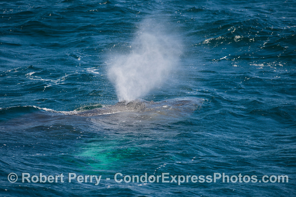 A spouting Humpback Whale (<em>Megaptera novaeangliae</em>) with white pectoral fin glowing underwater.