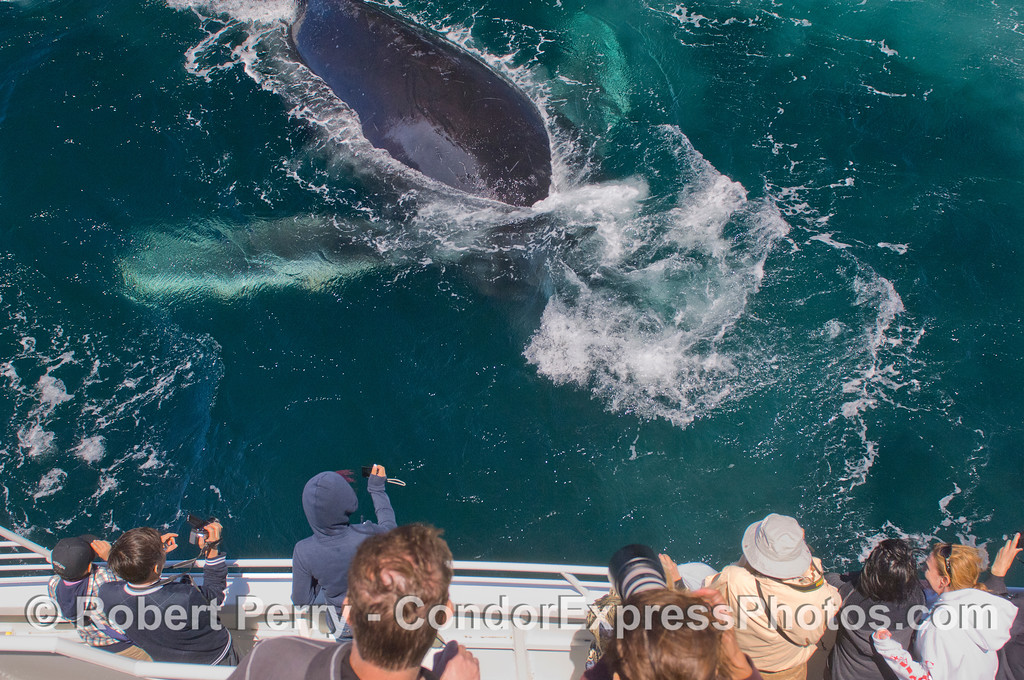 A Humpback Whale (<em>Megaptera novaeangliae</em>) entertains the whale watchers by diving under the Condor Express.