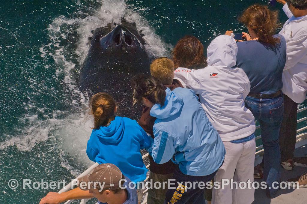 As close as it gets:  blow holes of a Humpback Whale (<em>Megaptera novaeangliae</em>).