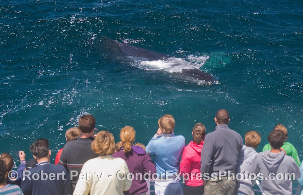 Friendly approach - Humpback Whale (<em>Megaptera novaeangliae</em>) and Condor Express.