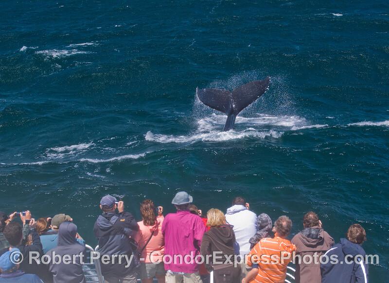 Humpback Whale (<em>Megaptera novaeangliae</em>) tail flukes and Condor Express people.