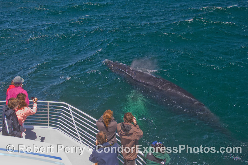 The friendly beast - a curious Humpback Whale (<em>Megaptera novaeangliae</em>) says hi to the Condor Express peoples.