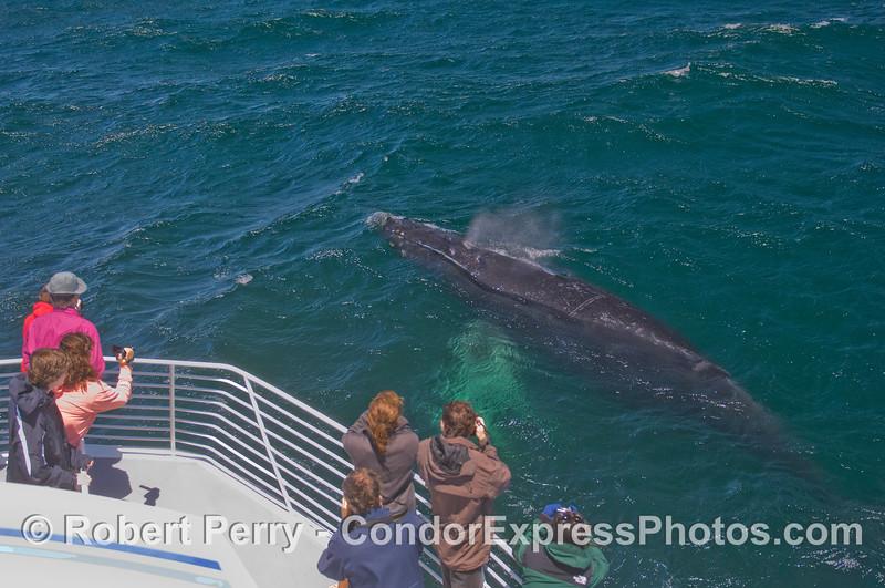 The friendly beast - a curious Humpback Whale (<em>Megaptera novaeangliae</em>) says hi to the Condor Express peoples.