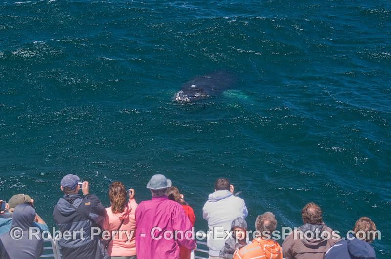 Eye to eye - Humpback Whale (<em>Megaptera novaeangliae</em>) and Condor Express people.