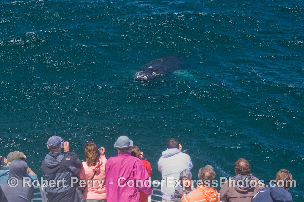Eye to eye - Humpback Whale (Megaptera novaeangliae) and Condor Express people.