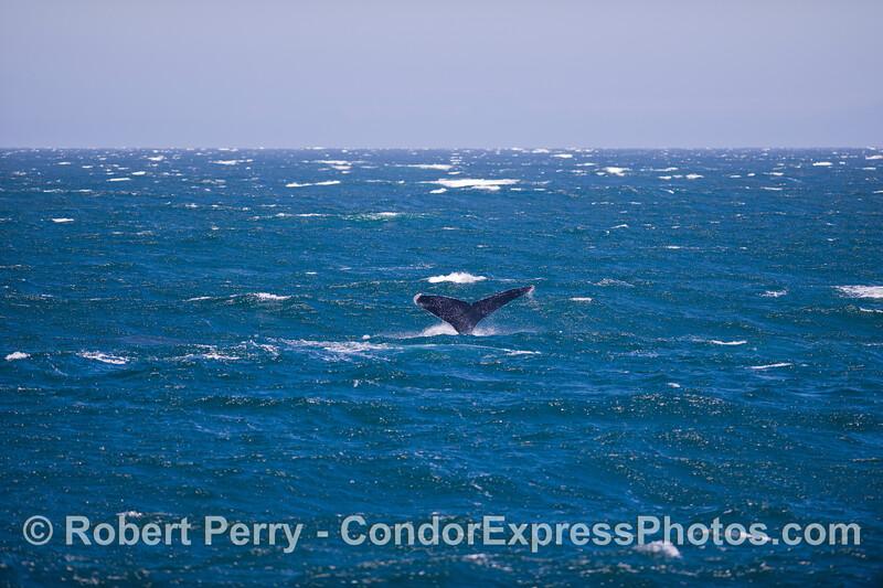 Tail flukes in the wind - Humpback Whale (<em>Megaptera novaeangliae</em>).