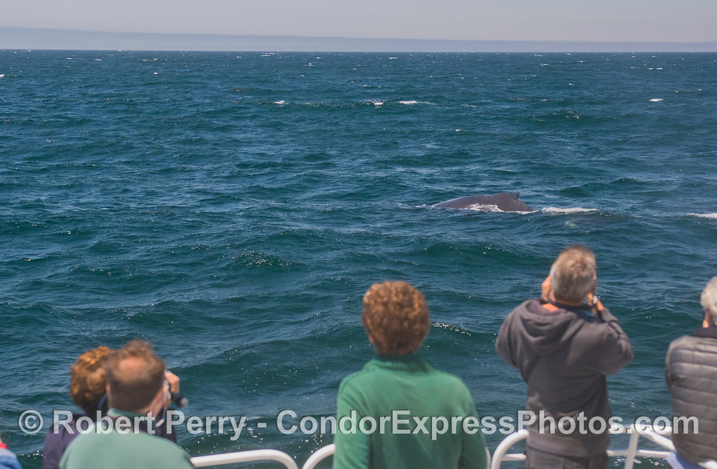 "A Humpback Whale (<em>Megaptera novaeangliae</em>) has a ""Kodak moment"" with photographers on board the Condor Express."