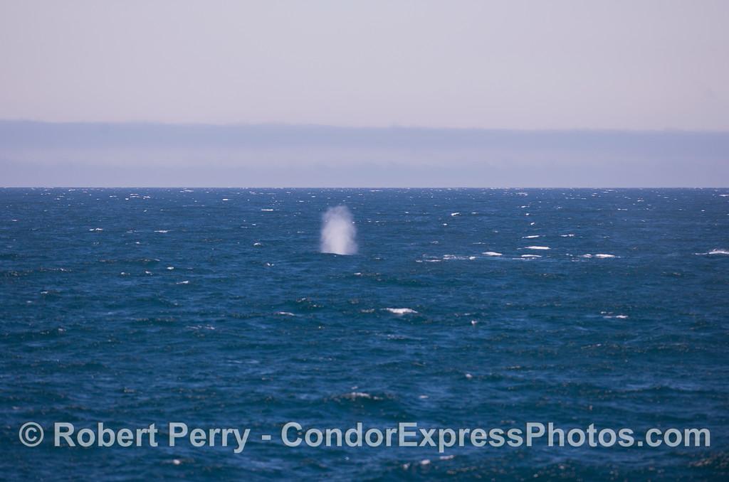 Geyser = Blue Whale (<em>Balaenoptera musculus</em>) spout.