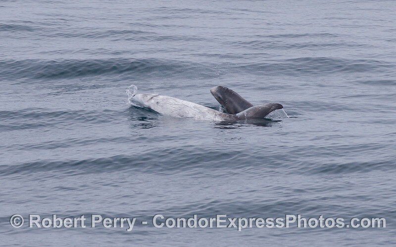 Image 1 of 2:  A very young Risso's Dolphin (<em>Grampus griseus</em>) pokes its head up to take a look around.