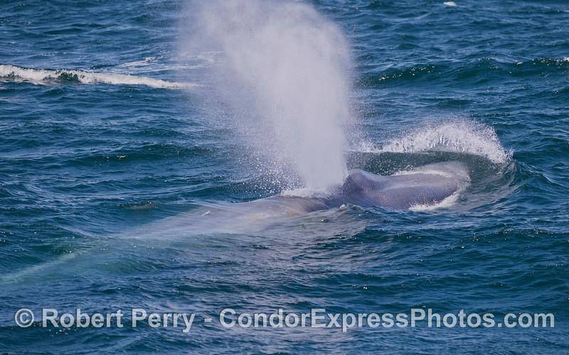 Blue Whale (<em>Balaenoptera musculus</em>).