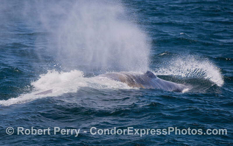 A giant Blue Whale (<em>Balaenoptera musculus</em>) charges over a windy wave.
