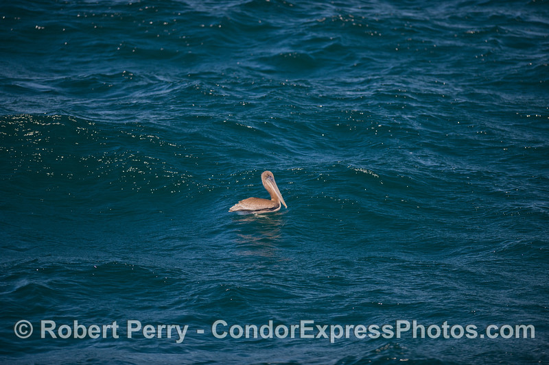 Brown Pelican (<em>Pelecanus occidentalis</em>) on a choppy ocean.