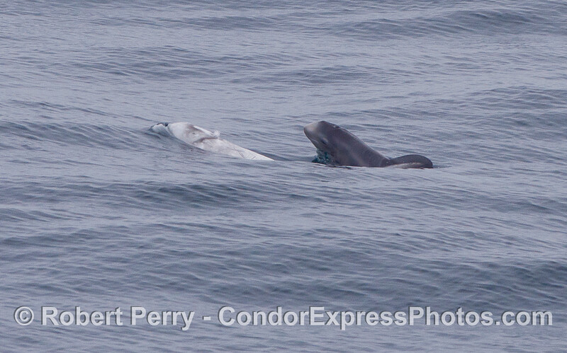 Image 2 of 2:  A very young Risso's Dolphin (<em>Grampus griseus</em>) pokes its head up to take a look around.
