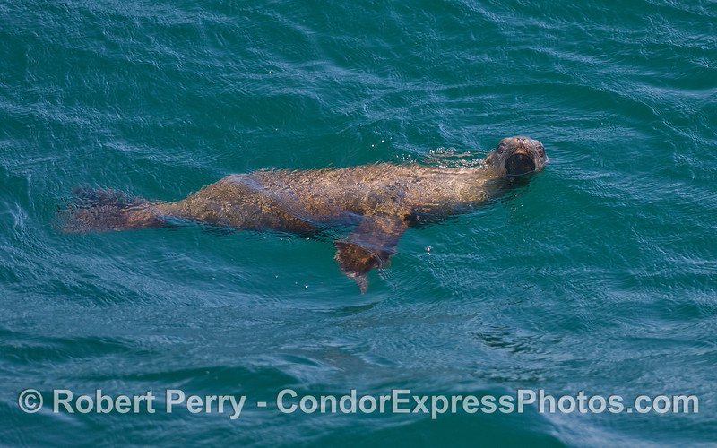A friendly California Sea Lion (<em>Zalophus californianus</em>).