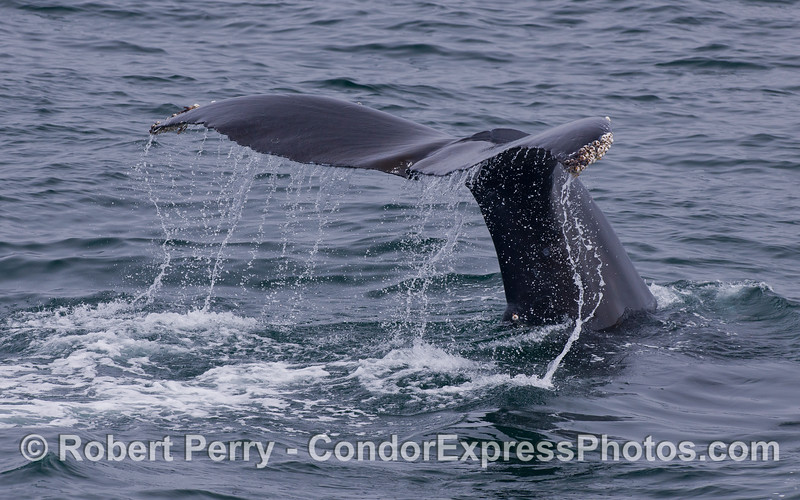 Humpback Whale (<em>Megaptera novaeangliae</em>) tail waterfall.