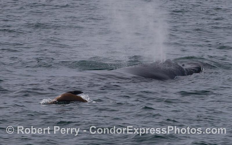A California Sea Lion (<em>Zalophus californianus</em>) pesters a Humpback Whale (<em>Megaptera novaeangliae</em>) .
