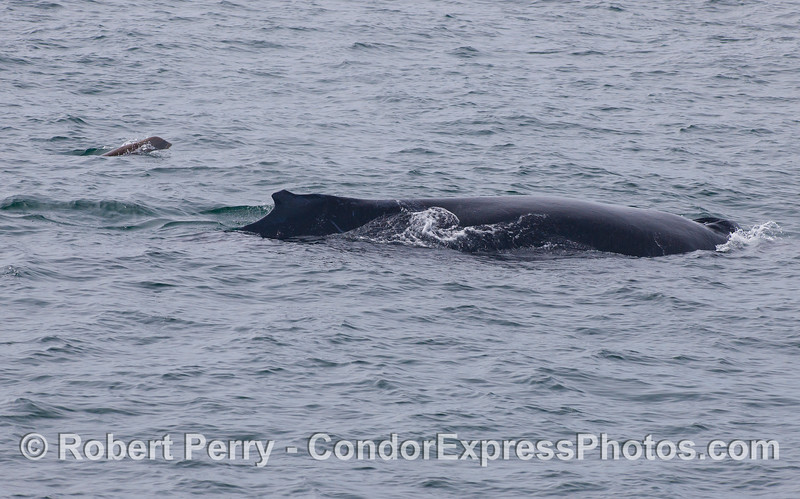 A Humpback Whale (<em>Megaptera novaeangliae</em>) is escorted by a California Sea Lion (<em>Zalophus californianus</em>).