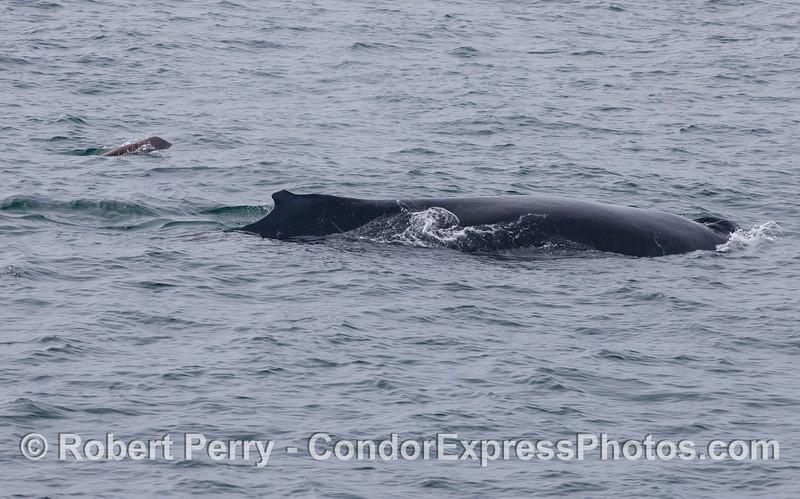 A Humpback Whale (<em>Megaptera novaeangliae</em>) is escorted by a California Sea Lion (<em>Zalophus californianus</em>).