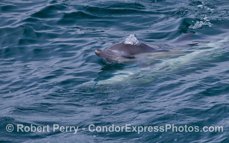 Common Dolphins (<em>Delphinus capensis</em>) mating.