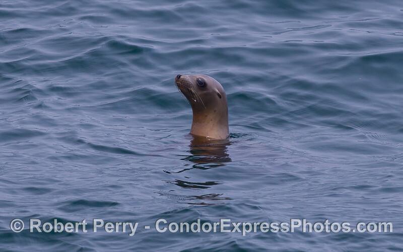 Portrait of a California Sea Lion (<em>Zalophus californianus</em>).