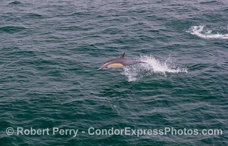 Common Dolphin (<em>Delphinus delphis</em>)
