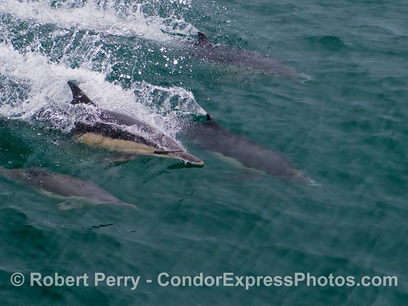 Common Dolphins (<em>Delphinus capensis</em>) surfing.