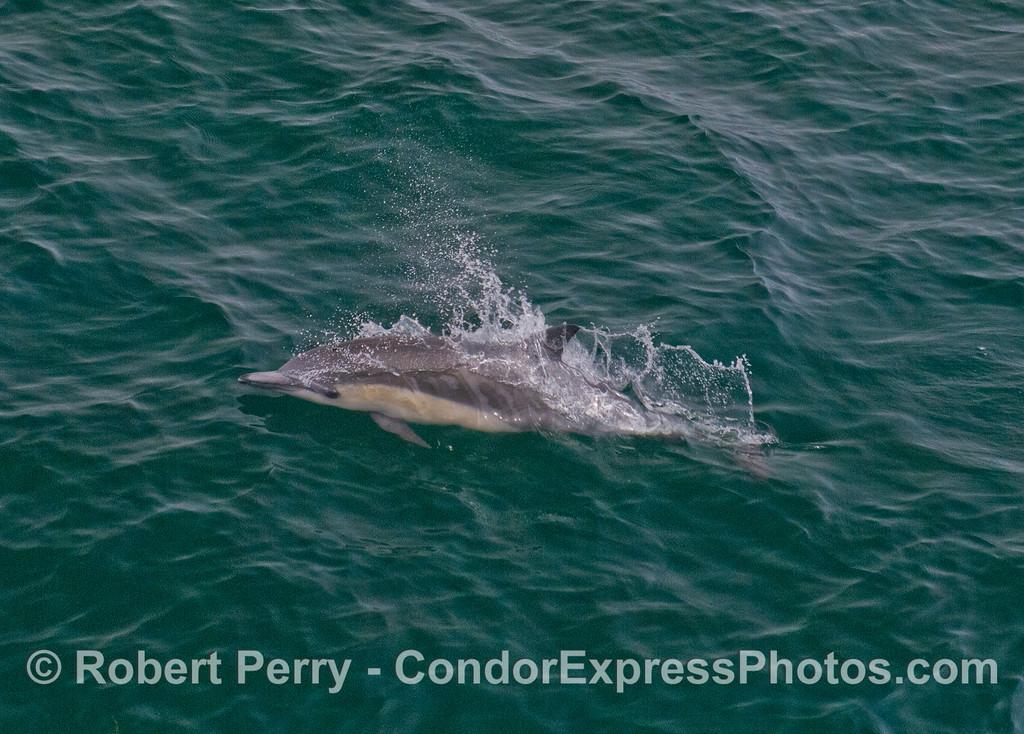 Common Dolphin (<em>Delphinus delphis</em>).