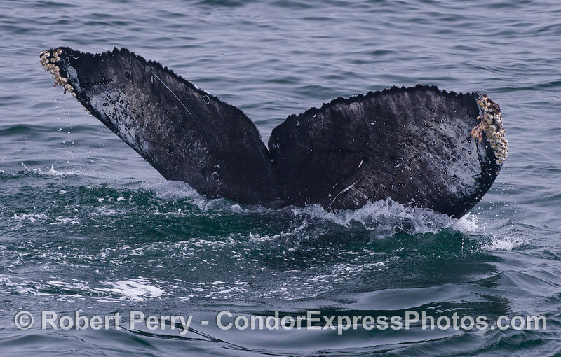 Tail fluke - Humpback Whale (<em>Megaptera novaeangliae</em>).  The ventral surface of the Humpback tail is its signature for identification. It tells a story.  Look at the way the trailing edge is serrated or scalloped.  Humpbacks are born with these scallops.  Other small scars are visible, and some scrapes.  Two circular white scars are probably the result of Cookie Cutter Shark (<em>Isistius brasiliensis</em>) attacks.  Researchers use photographs like this one to identify and track individual Humpback Whales.
