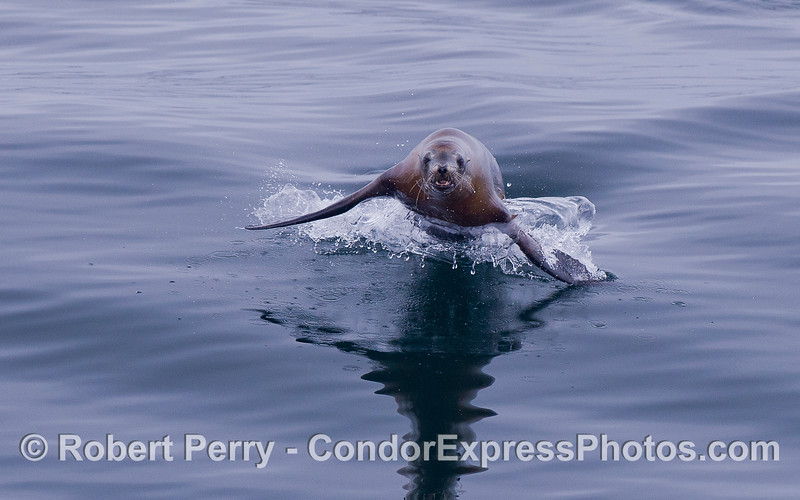 A California Sea Lion (<em>Zalophus californianus</em>) leaps out of the water, directly at the camera.