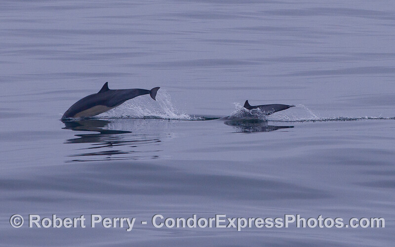 Common Dolphin (<em>Delphinus capensis</em>) mother and her calf.