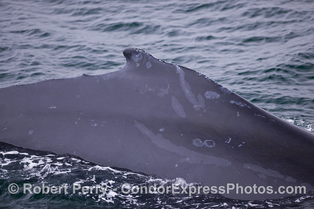 Dorsal fin and flanks of a Humpback Whale (<em>Megaptera novaeangliae</em>).