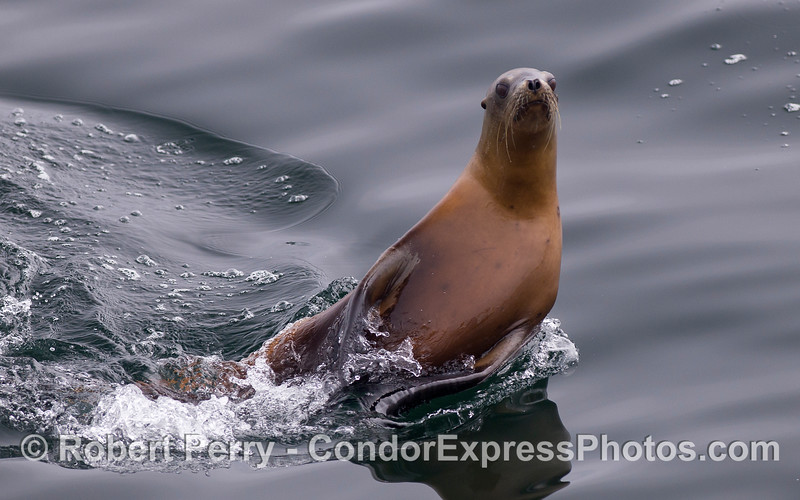An energetic California Sea Lion (<em>Zalophus californianus</em>) put on quite a show for the humans.