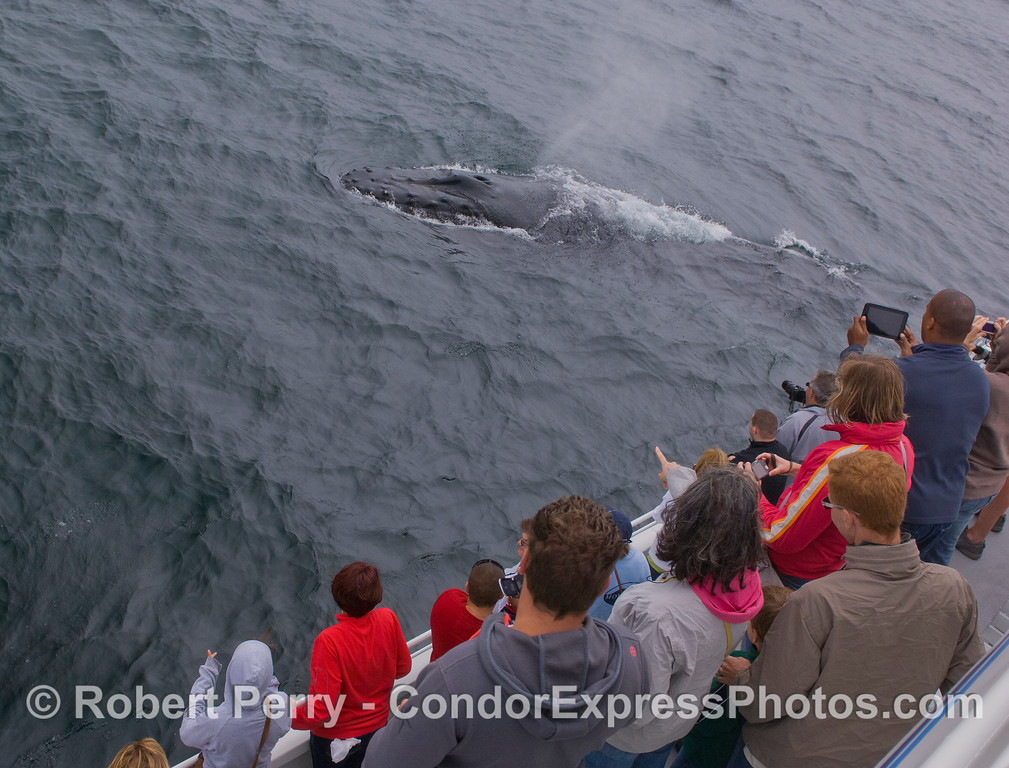Humpback Whale (Megaptera novaeangliae) and people on the Condor Express.