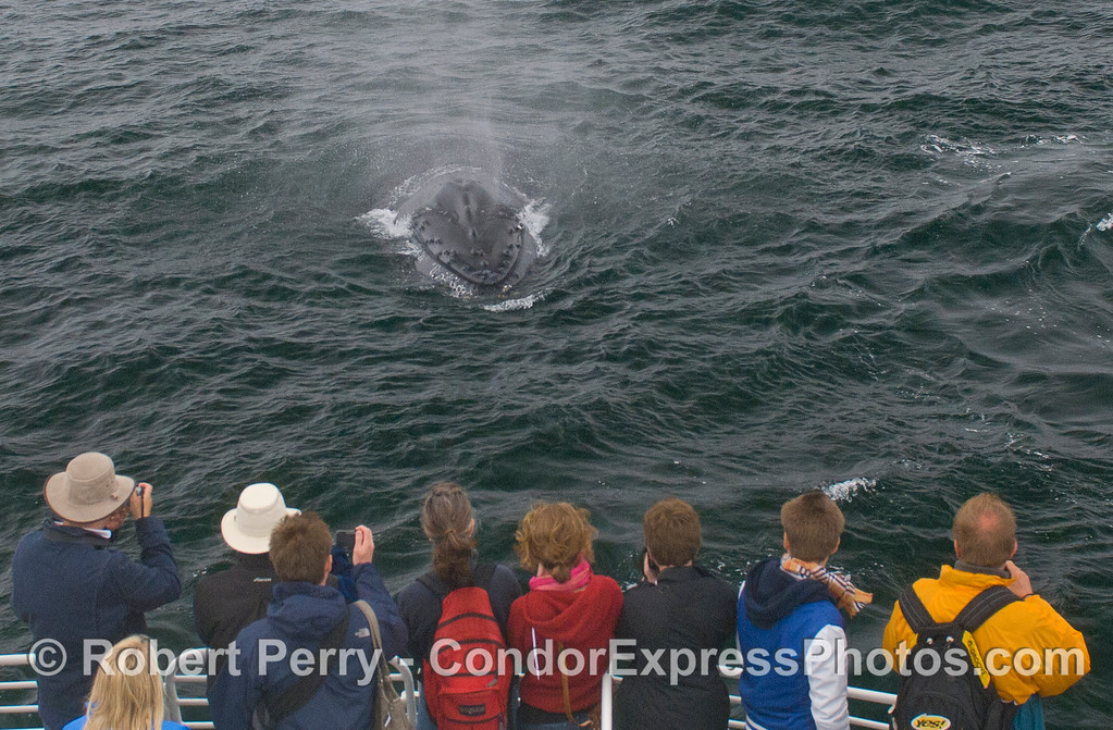 A very curious and friendly Humpback Whale (Megaptera novaeangliae) meets the people on the Condor Express.