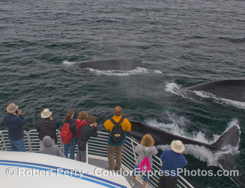 Three Humpback Whales (<em>Megaptera novaeangliae</em>) and people on the Condor Express.