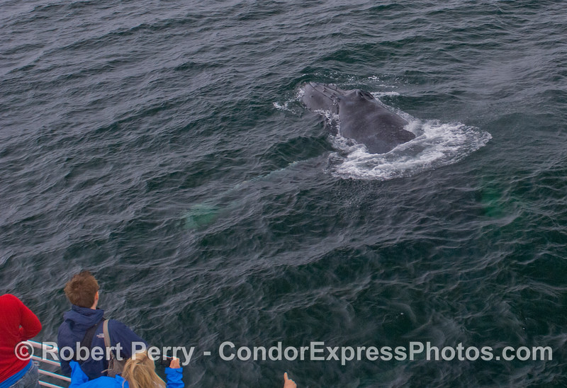 Human beings on board the Condor Express get a close look at friendly Humpback Whales (<em>Megaptera novaeangliae</em>).