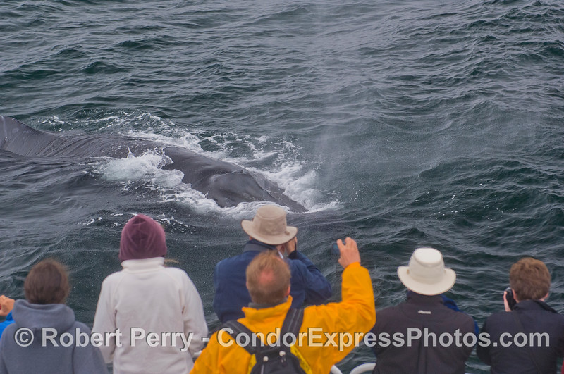 Humpback Whale (<em>Megaptera novaeangliae</em>) and people on the Condor Express.