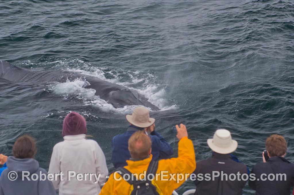 Humpback Whale (<em>Megaptera novaeangliae</em>) and people on the Condor Express.