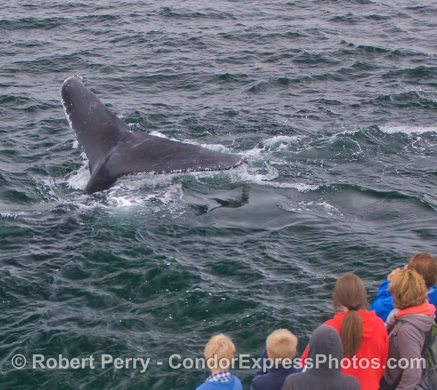 A Humpback Whale (<em>Megaptera novaeangliae</em>) shows its tail very close to the boat.