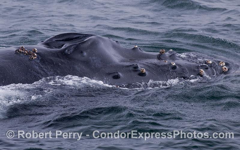 Humpback Whale (<em>Megaptera novaeangliae</em>) knobby rostrum and splash guard.