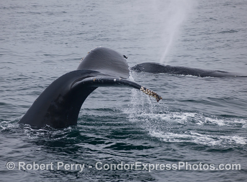 Two Humpback Whales (<em>Megaptera novaeangliae</em>) - one spout, one tail fluke.