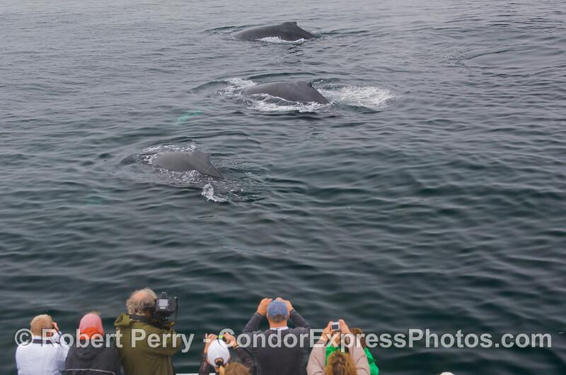 Human Beings (<em>Homo sapiens</em>) grab their cameras as three  Humpback Whales (<em>Megaptera novaeangliae</em>) come in for a friendly visit.