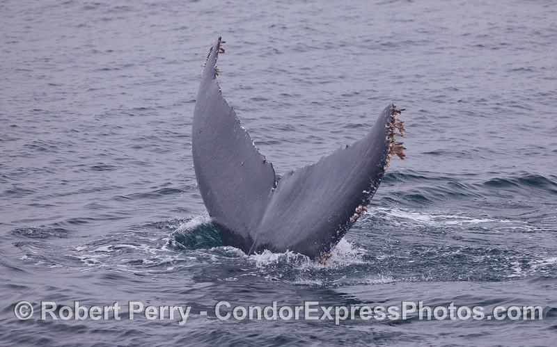 Image 2 of 2:  Close look at a Humpback Whale (<em>Megaptera novaeangliae</em>) tail fluke.