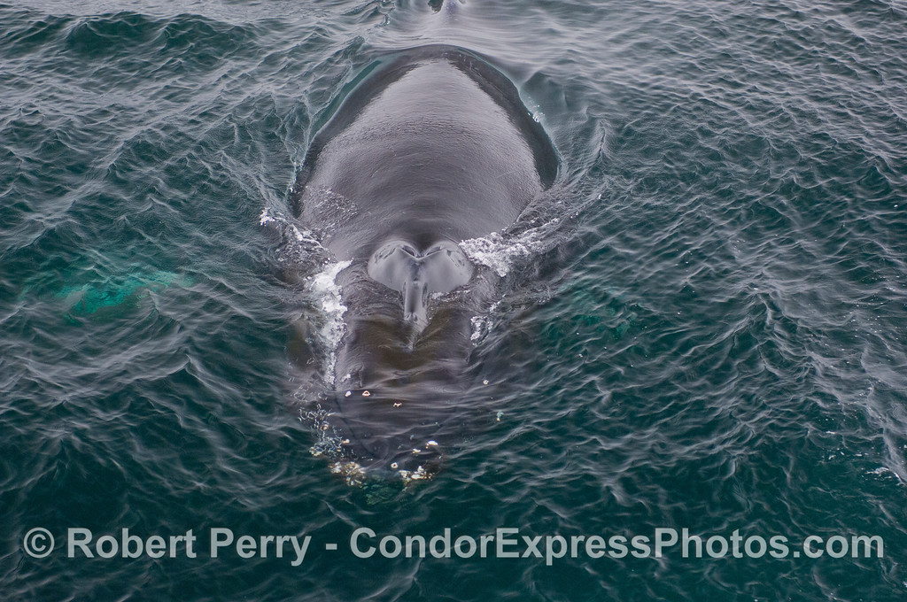 Image 2 of 2:  A knobby-headed beast rises up from the depths.  A  wild Humpback Whale (<em>Megaptera novaeangliae</em>) goes eyeball to eyeball with the Human Beings (<em>Homo sapiens</em>).